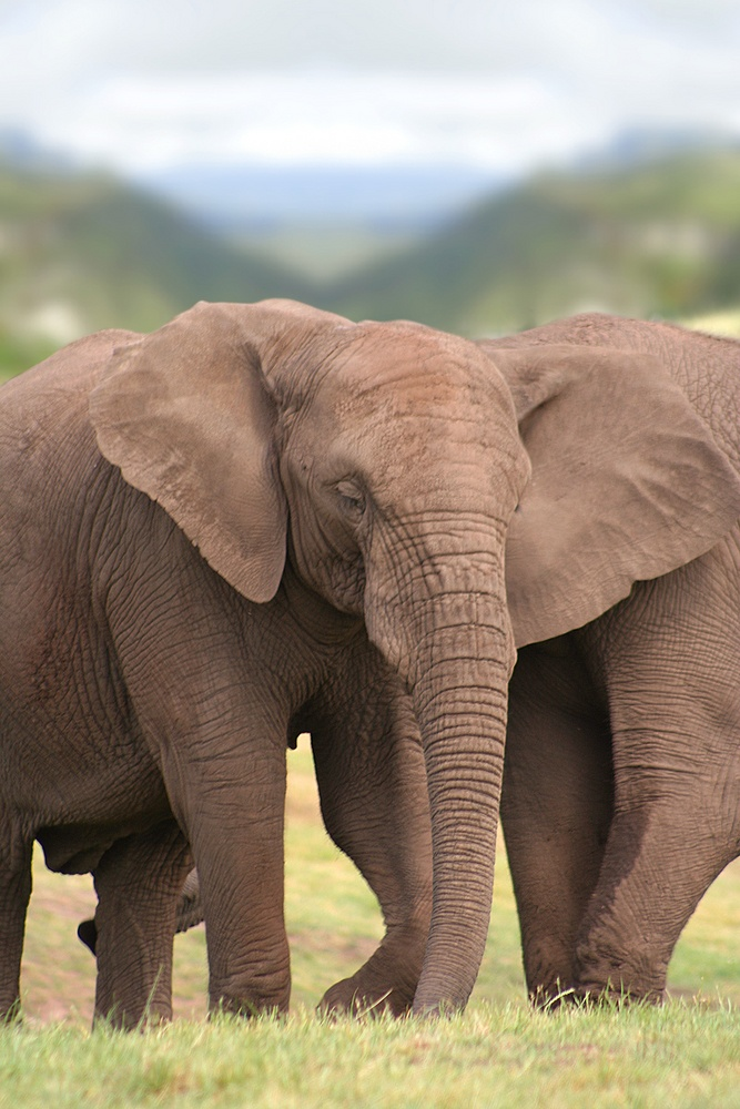couple of elephants.jpeg